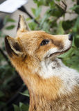 Taxidermy Feral Fox Royalty Free Stock Photo