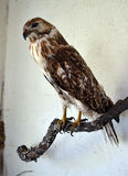 Taxidermy Hawk. This stuffed hawk is on display at Fort Richardson State Park in Jacksboro, Texas Stock Photos