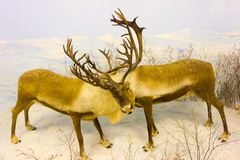 Taxidermy at an indoor museum in the yukon Royalty Free Stock Photos