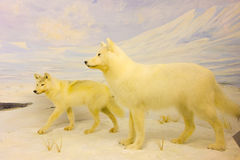 Taxidermy at an indoor museum in the yukon Stock Photography