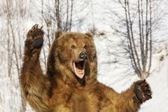 Taxidermy of a Kamchatka brown bear in forest. On winter Stock Images