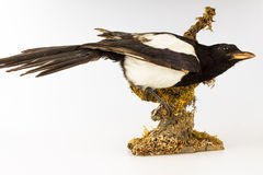 Stuffed taxidermy magpie. Taxidermy magpie perched on a branch Stock Photo