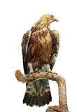 Taxidermy mount of an eagle Stock Photos
