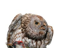 Ural owl - strix uralensis Royalty Free Stock Photo