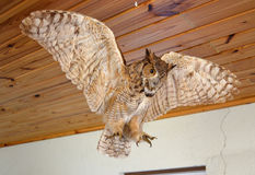 Taxidermy Owl Stock Image