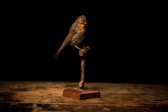 Taxidermy robin on black background. And wood surface Stock Image
