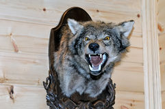 Taxidermy stuffed wolf`s muzzle with bared mouth. And teeth is hanging on a wooden stand on a wooden wall Royalty Free Stock Photo