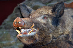 Taxidermy - Wild boar. Taxidermy of a wild boar hanged on the wall Stock Photography