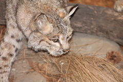 Taxidermy Wildlife. Photo of s Taxidermied Animal Royalty Free Stock Photography