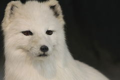 Taxidermy Wildlife. Photo of s Taxidermied Animal Stock Images