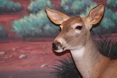 Taxidermy Wildlife Royalty Free Stock Photography