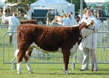 Taxierter Stier an einer Grafschaftsshow Stockbilder
