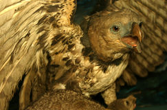 Taxodermy - Stuffed Hawk Royalty Free Stock Image