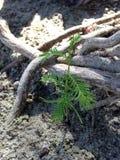 Taxodium Distichum; Облыселый Cypress; Росток дерева растя между коленями и корнями рядом с водой Стоковые Фотографии RF