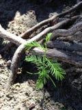 Taxodium Distichum; Облыселый Cypress; Росток дерева растя между коленями и корнями рядом с водой Стоковое Изображение RF