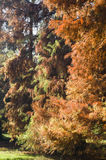 Taxodium distichum bald cypress Royalty Free Stock Photos