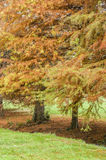 Taxodium distichum bald cypress Stock Photo