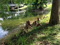 Taxodium Distichum (Bald Cypress) Tree Knees next to Pond. Stock Photo