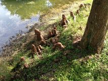 Taxodium Distichum (Bald Cypress) Tree Knees next to Pond. Stock Photos