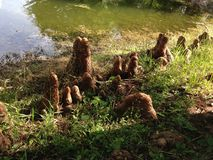 Taxodium Distichum (Bald Cypress) Tree Knees next to Pond. Stock Image