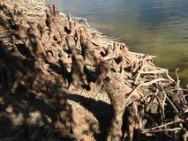 Taxodium Distichum;Bald Cypress; Tree Knees and Roots next to Water. Stock Photography