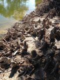 Taxodium Distichum (Bald Cypress) Tree Knees and Roots next to Water. Royalty Free Stock Photo