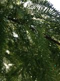 Taxodium Distichum (Bald Cypress) Tree with Rain Drops on Branches Growing next to Pond during Sunrise. Royalty Free Stock Photos