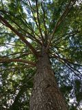 Taxodium Distichum (Bald Cypress) Tree Trunk with Branches - View from Below. Stock Photo
