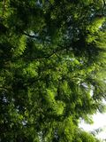 Taxodium Distichum (Bald Cypress) Tree Branches Lit with Bright Sunlight during Sunset. Stock Photo