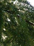 Taxodium Distichum drzewo z deszcz kroplami na gałąź R obok stawu podczas wschodu słońca (Łysy cyprys) Zdjęcia Royalty Free