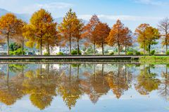 Taxodium distichum in fall color with red with orange leaves and reflection royalty free stock photos