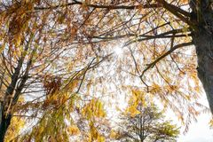 Taxodium distichum in fall color with red with orange leaves royalty free stock images