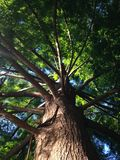 Taxodium Distichum gałąź Zaświecać z Jaskrawym światłem słonecznym podczas zmierzchu (Łysy çypress) Zdjęcie Royalty Free
