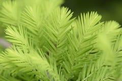 taxodium distichum sprouts Stock Image