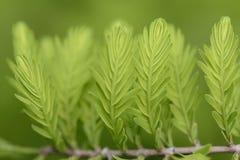 Taxodium distichum sprouts Stock Photos