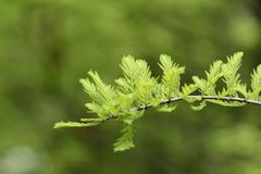 Taxodium distichum sprouts Royalty Free Stock Images