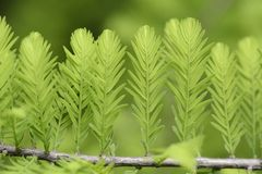 Taxodium distichum sprouts Stock Photography
