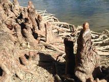 Taxodium Distichum; Łysy Cypress&; Drzewni kolana i korzenie obok wody Fotografia Stock