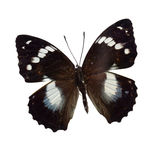 Taxon butterflies Royalty Free Stock Images