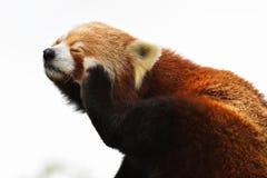 Taxonomic namn för röd panda, Firefox eller Lesser Panda: Ailurusfulgens, glänsande katt` för `, Royaltyfri Fotografi