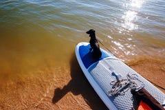 Taxsammanträde vindsurfar på brädet på stranden Den gulliga svarta vovven älskar bränning Arkivfoto