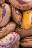 Taxtur do feijão-roxo Imagem de Stock Royalty Free