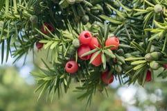 Taxus το ευρωπαϊκό yew baccata είναι θάμνος κωνοφόρων με τα δηλητηριώδη και πικρά κόκκινα ωριμασμένα φρούτα μούρων στοκ φωτογραφία