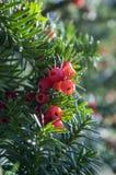 Taxus το ευρωπαϊκό yew baccata είναι θάμνος κωνοφόρων με τα δηλητηριώδη και πικρά κόκκινα ωριμασμένα φρούτα μούρων στοκ εικόνες