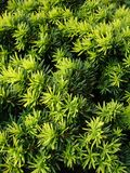 Taxus Images stock