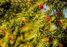 Taxus baccata lizenzfreies stockfoto