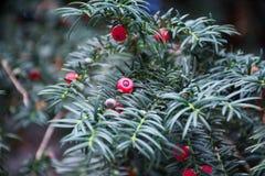 Taxus baccata Stock Afbeeldingen