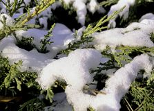 Taxus baccata also known as common yew, English yew or European yew, covered with snow stock image