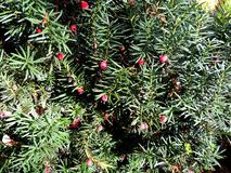 Taxus baccata Royalty Free Stock Photo