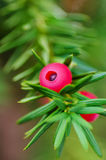 Taxus baccata branch Stock Photography